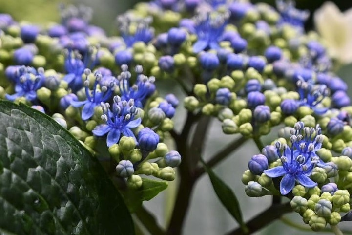 Lacecap hydrangea,flower