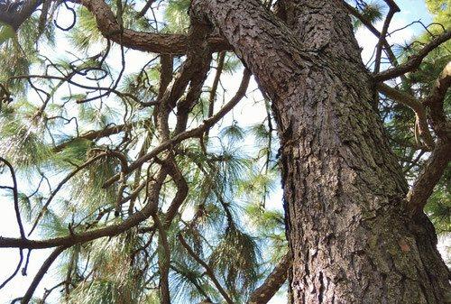 ダイオウショウ,だいおうしょう,木,画像