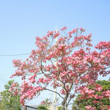 pink flowers in Japan