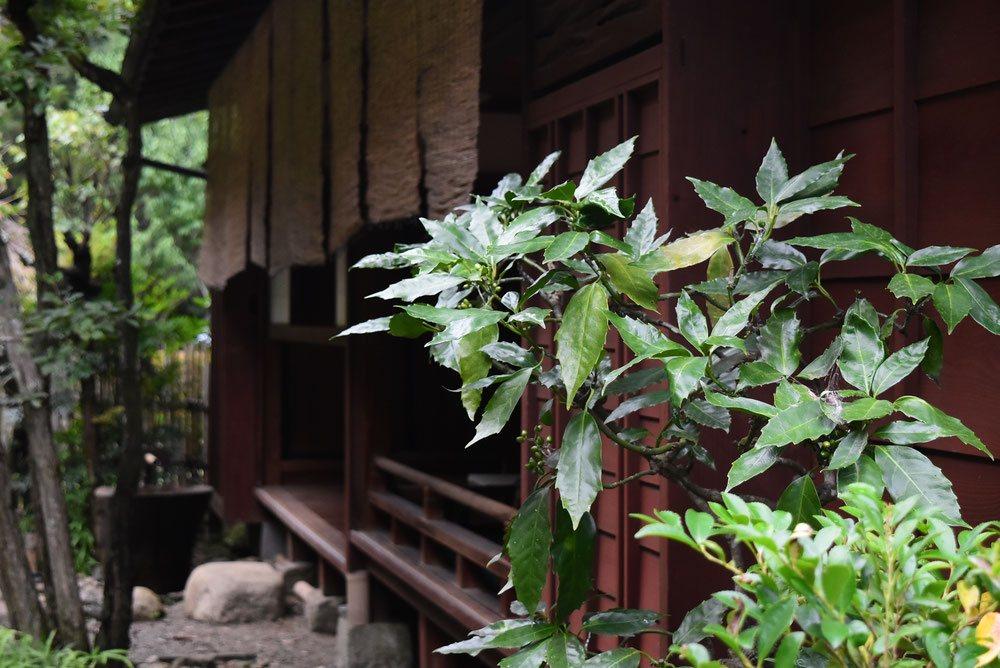 アオキ 育て方 樹木