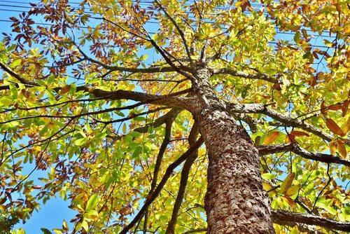 アベマキ,あべまき,樹木