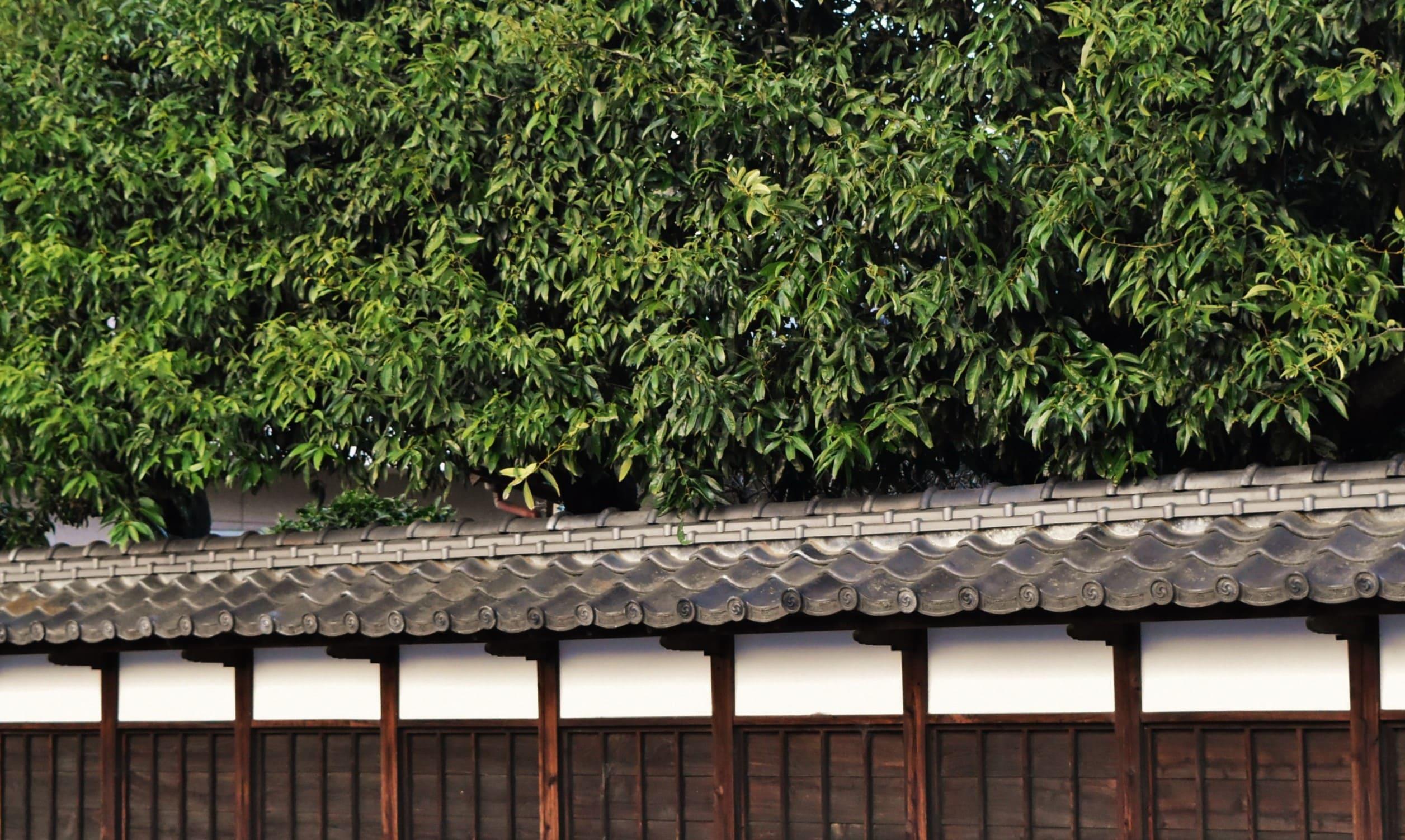 垣根に適した木 シラカシ