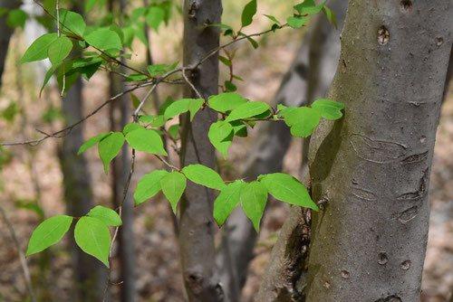 アブラチャン,あぶらちゃん,木,葉っぱ