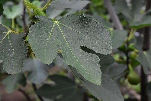Leaves of Fig tree in Japan