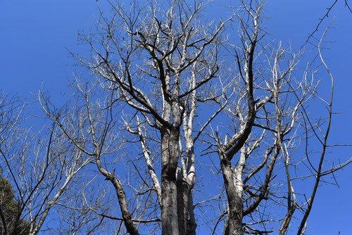 イタヤカエデ 樹形