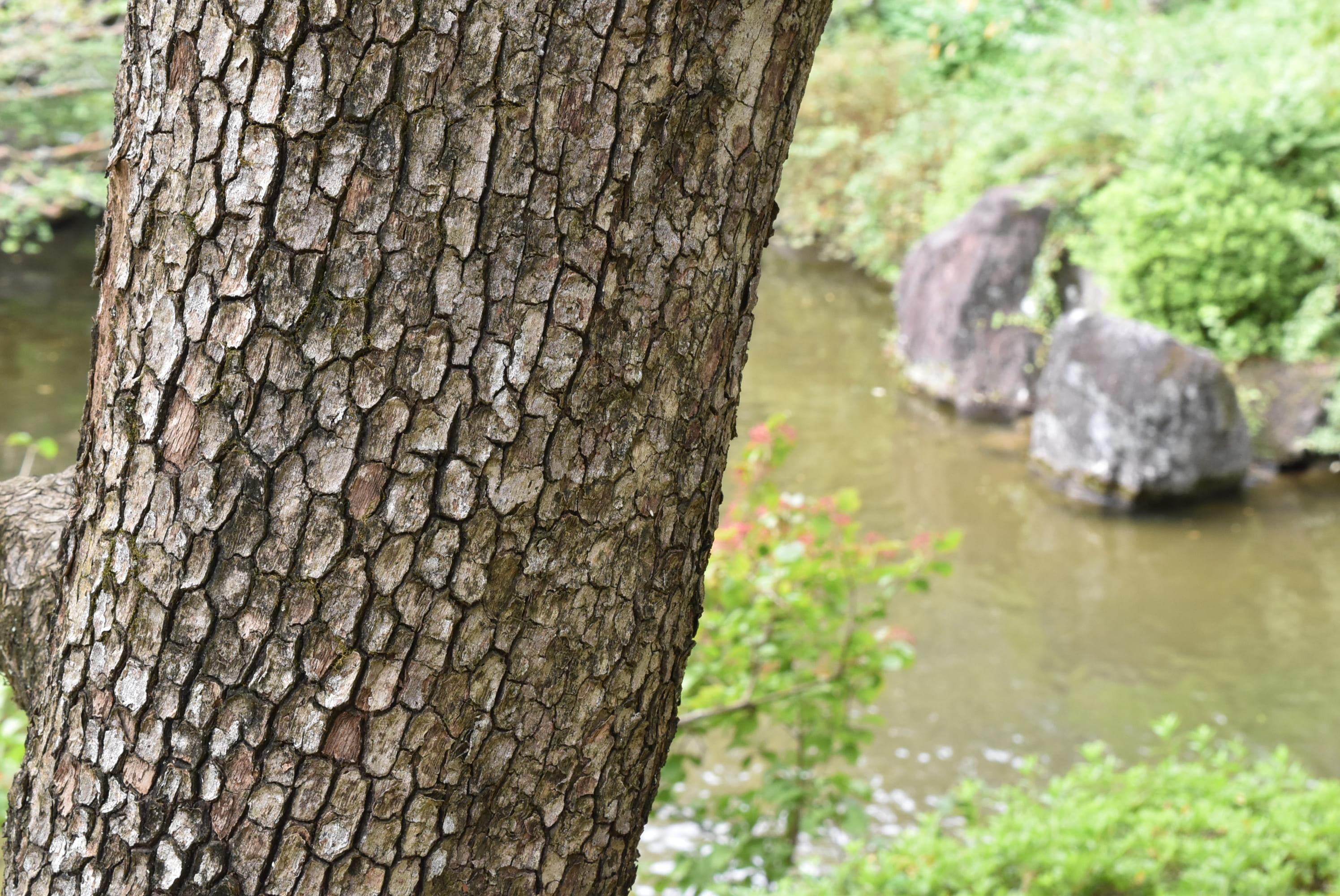 柿の木 幹