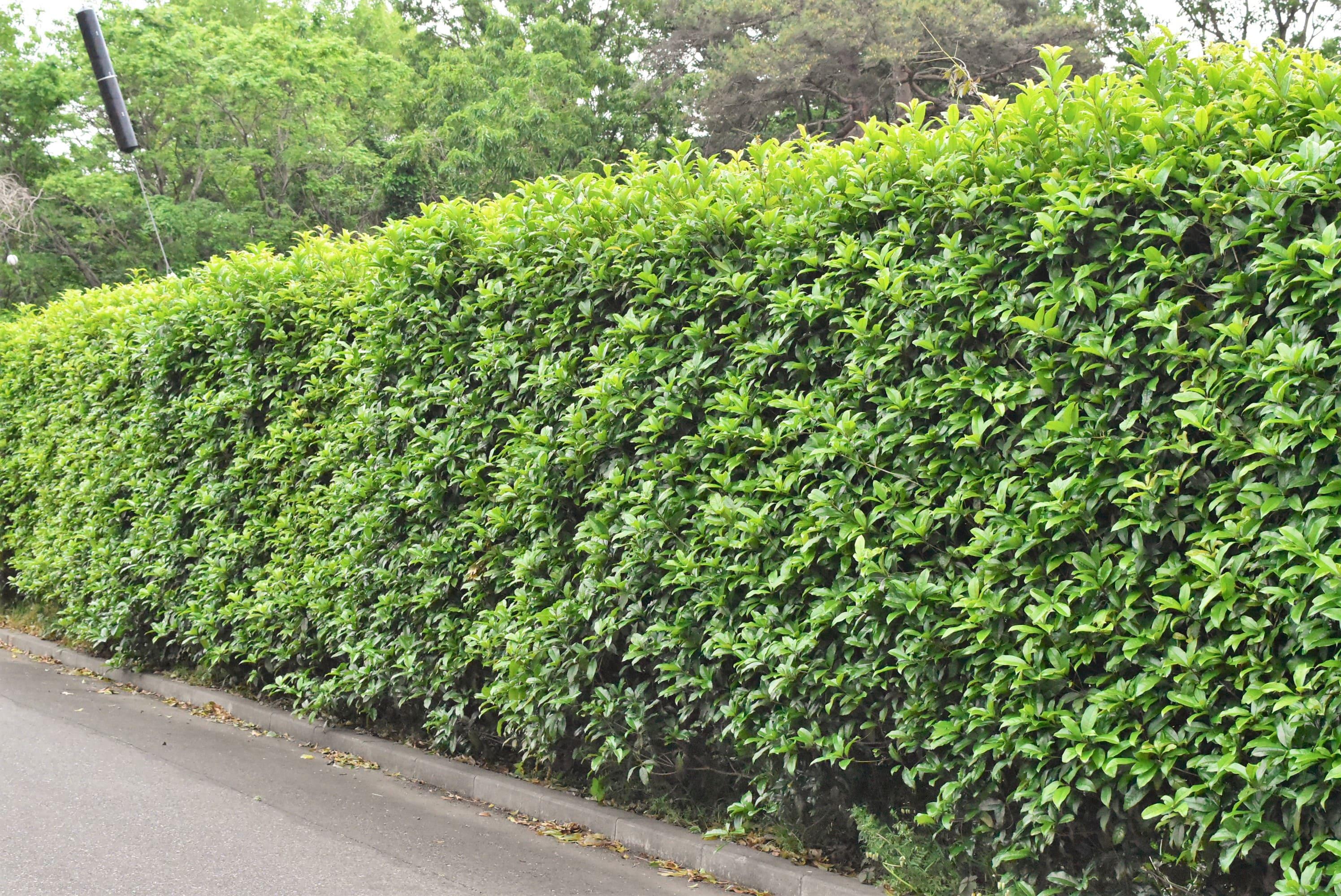 垣根に適した木 キンモクセイ