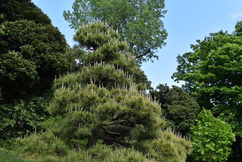 Japanese pine tree,black
