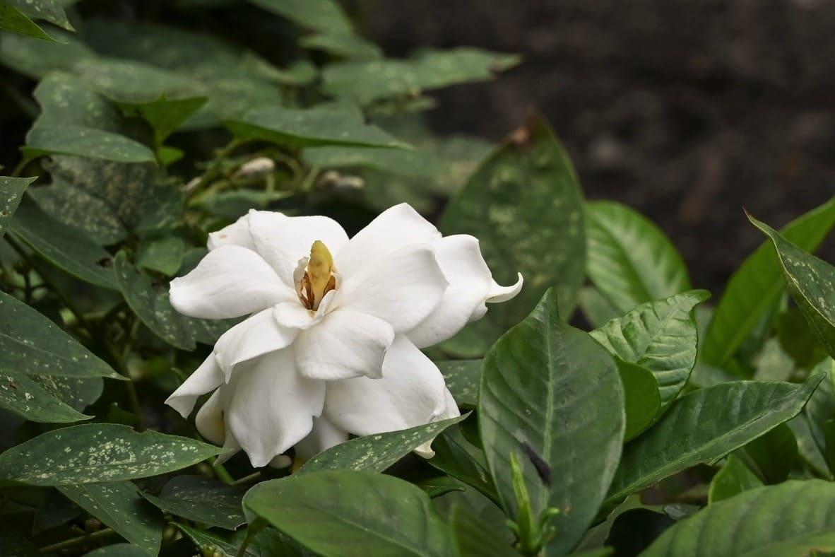 クチナシ 八重 花