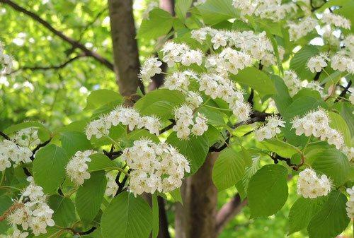 アズキナシの花,あずきなし,画像,開花時期