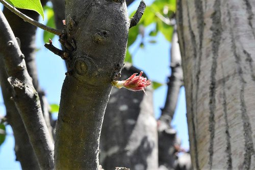 赤樫の新芽,画像