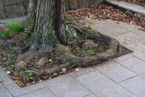 桂の根,画像