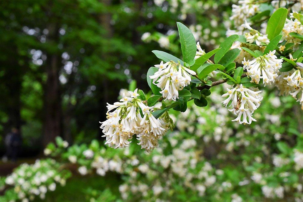 いぼたのき 開花時期