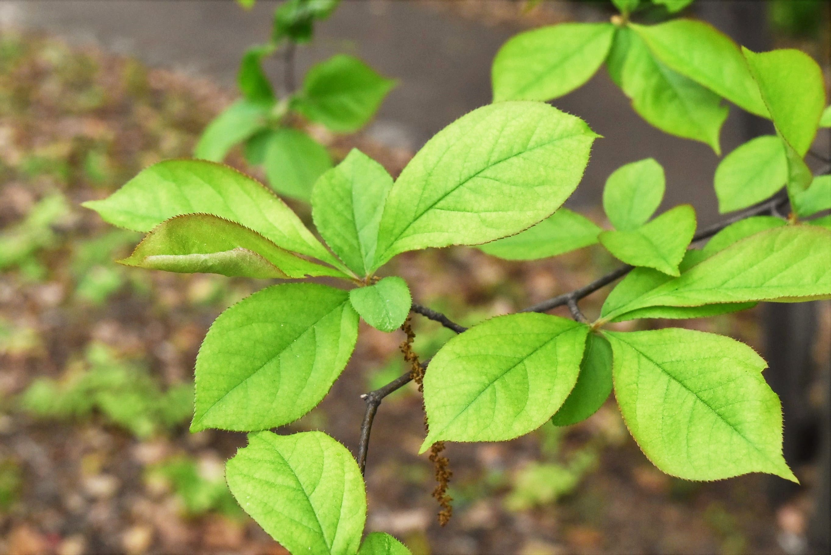 Smooth oriental photinia,leaf