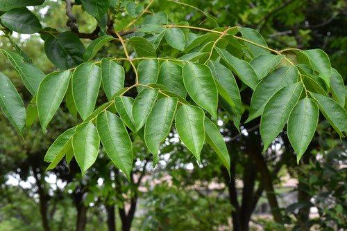 オオモクゲンジの葉,おおもくげんじ,図鑑