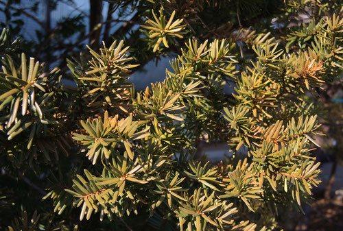 キャラボクの葉が茶色い,きゃらぼく