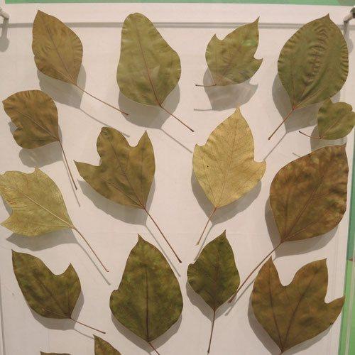 カクレミノ 葉の形