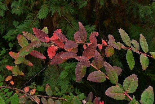 金糸梅,紅葉,画像