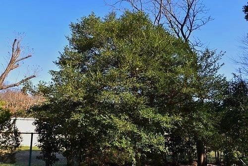 いぬつげ 樹形