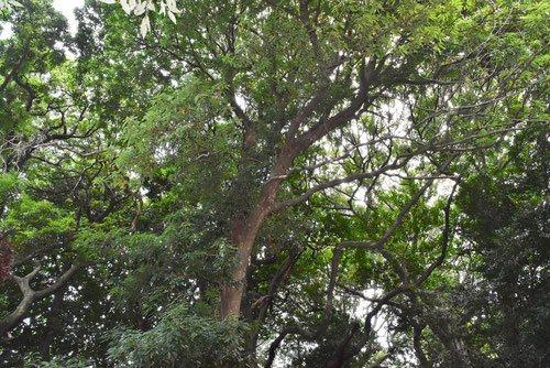 アオカゴノキ 樹木