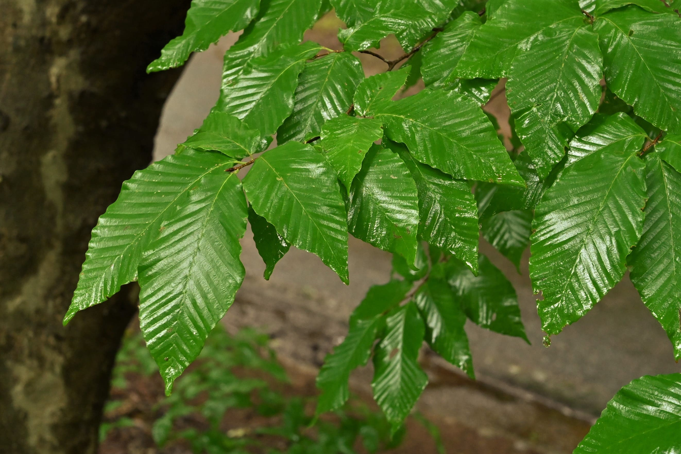 犬山毛欅の葉 特徴