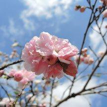 桃色の花がさく木