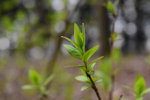 ウチワノキ 画像 樹木
