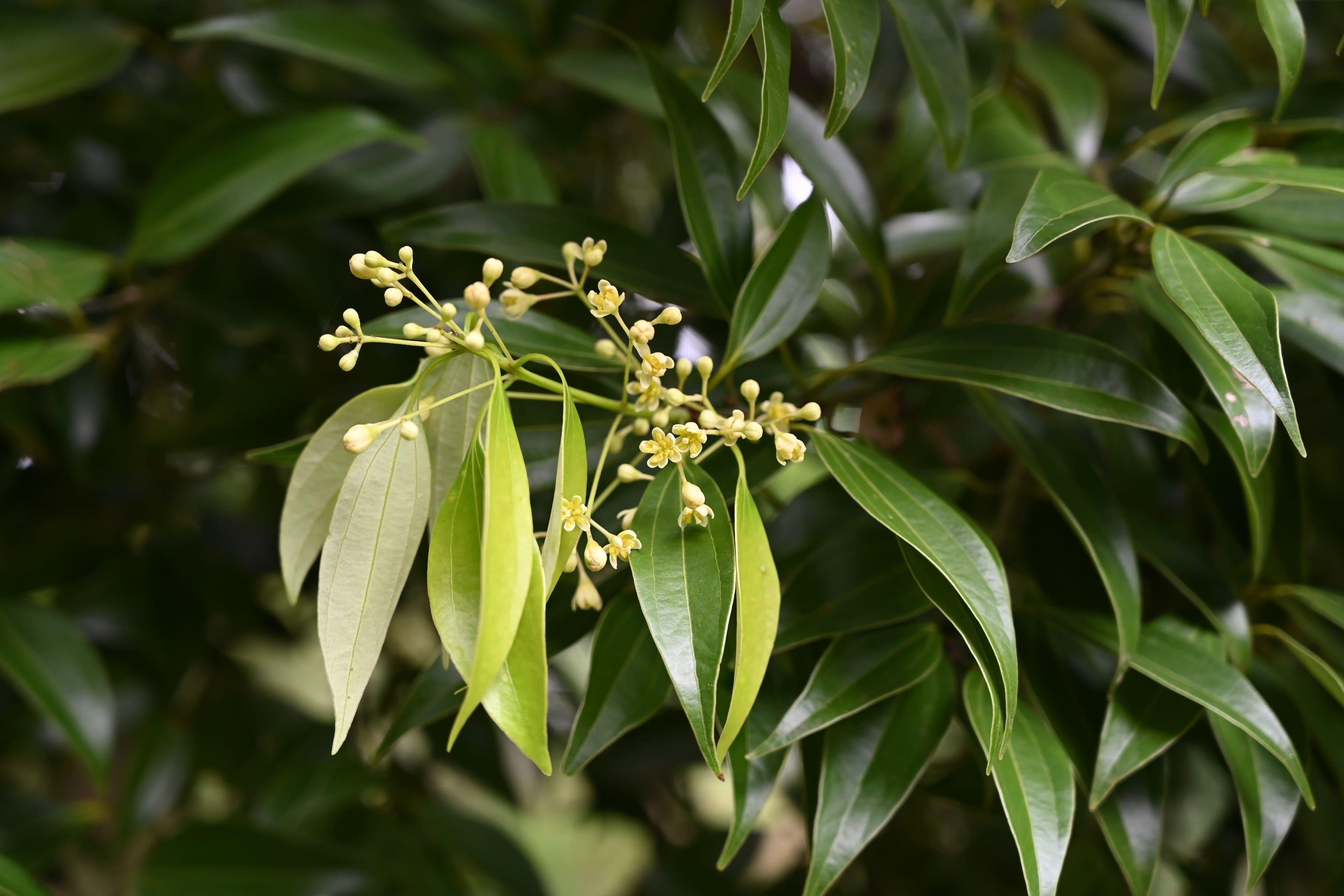 肉桂の花,にっけい,時期