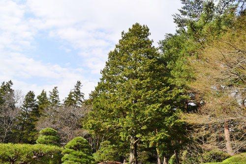 サワラ 樹木 特徴