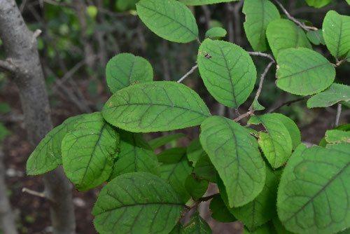 ウメモドキの葉,画像