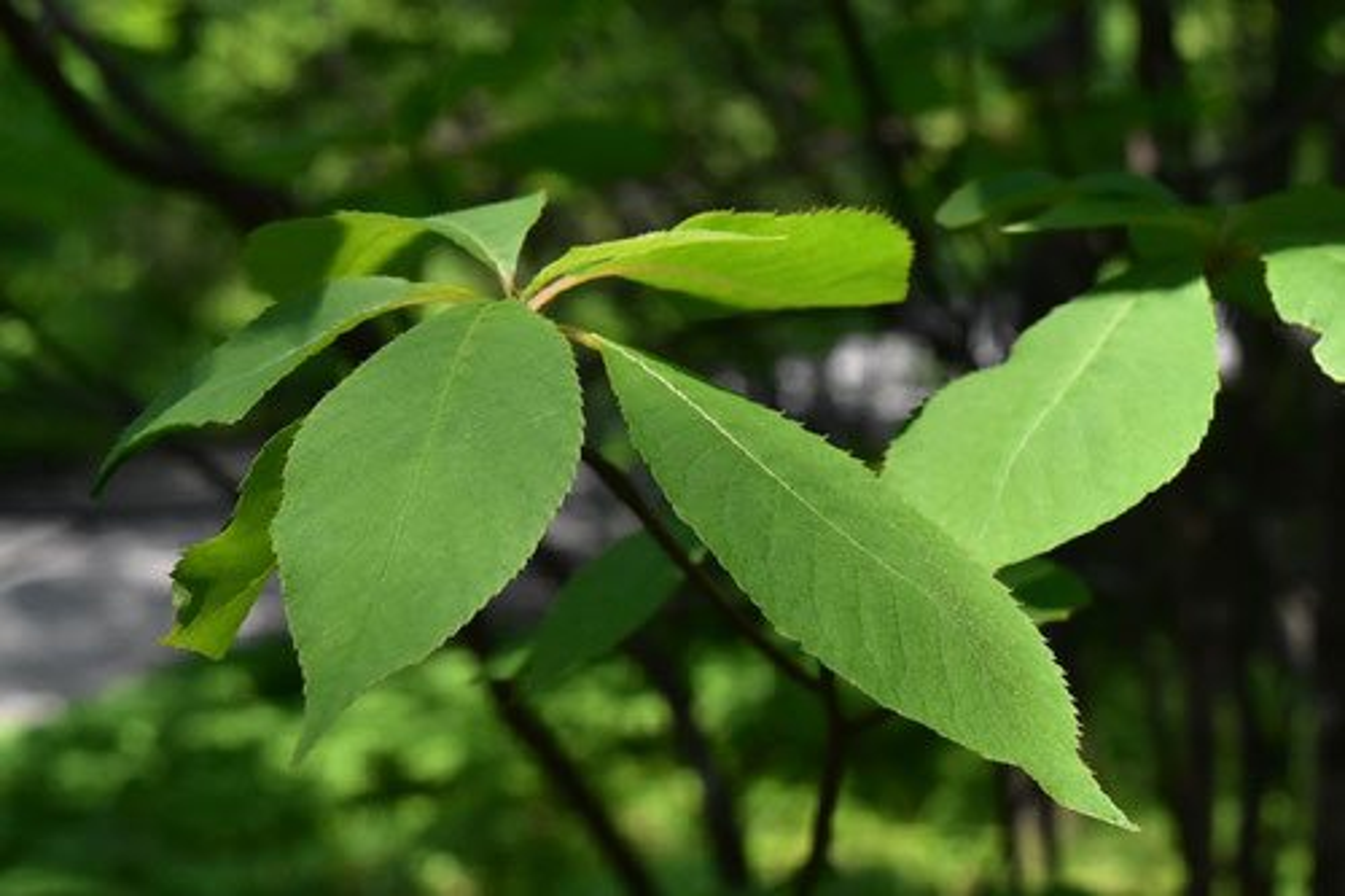 リョウブの葉っぱ 食べる