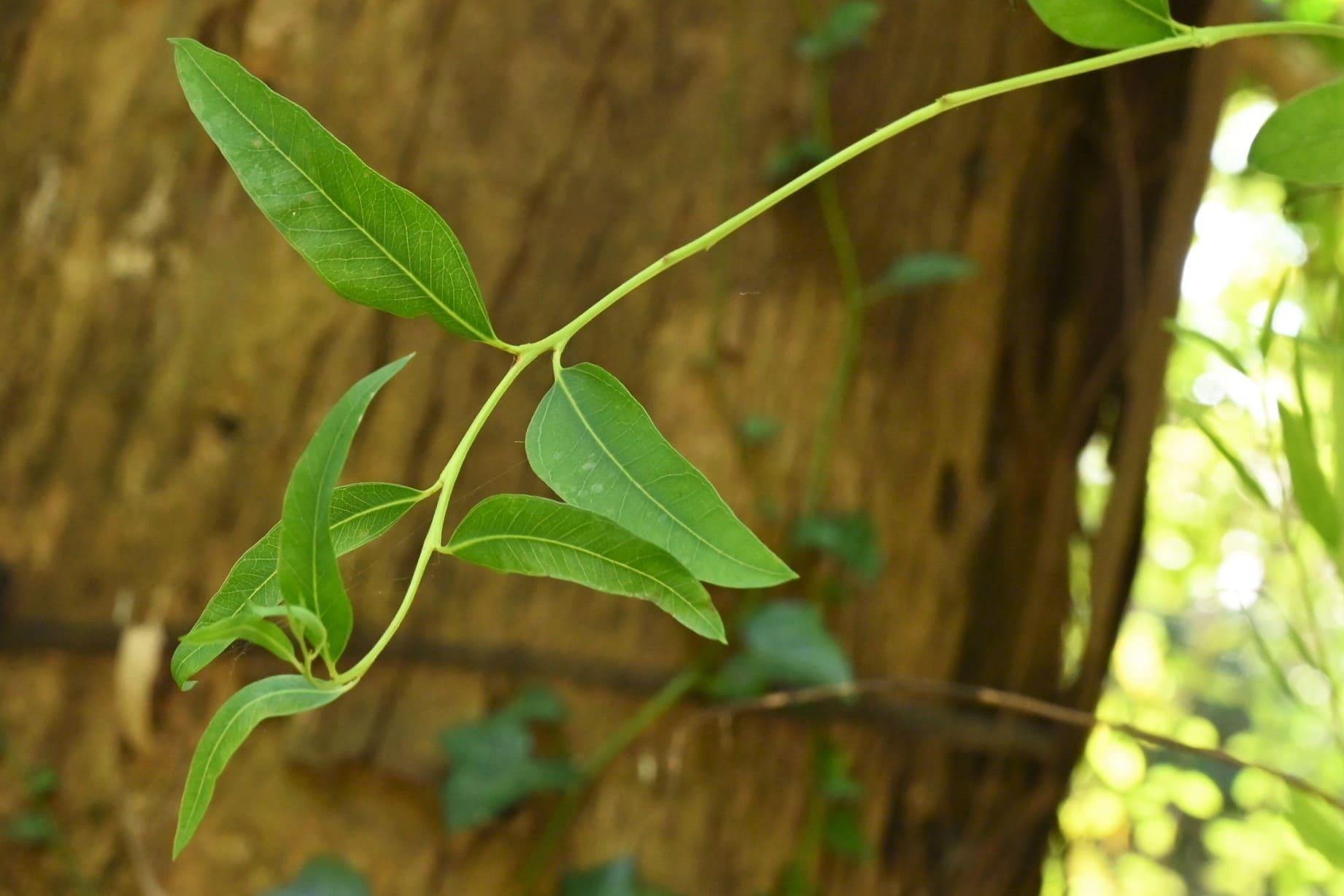 コアラの木,ユーカリ,ゆーかり