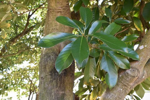 マテバシイ,樹木