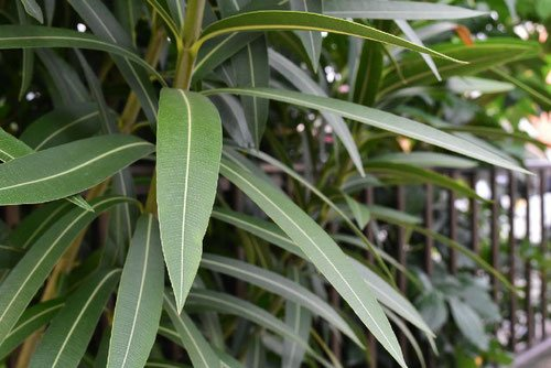 leaf of Oleander in Japan