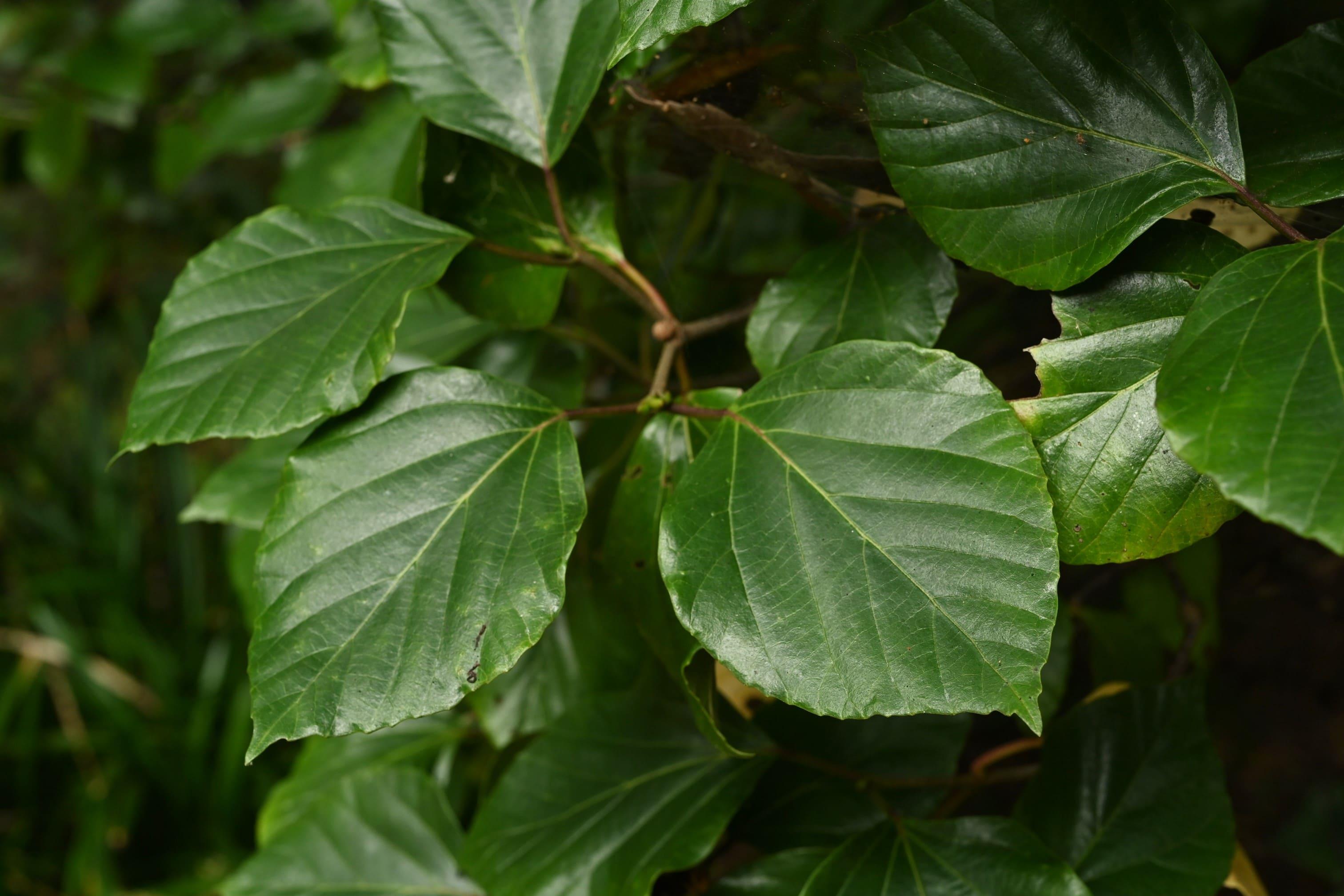 ハクサンボク,はくさんんぼく,葉,特徴