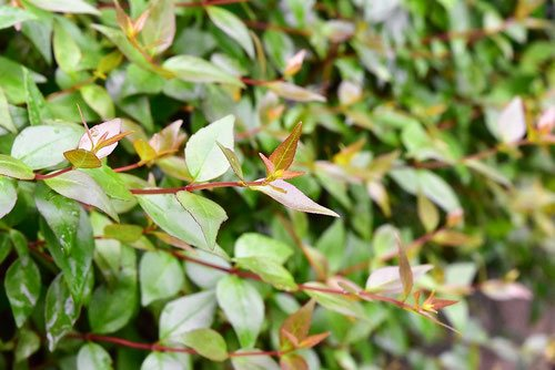アベリアの葉っぱ,あべりあ
