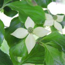 白色の花 樹木
