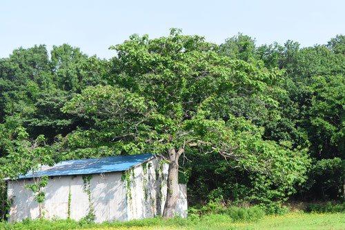 桐の木,きり,伐採