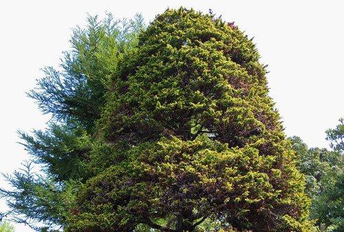 孔雀檜葉,くじゃくひば,剪定,画像