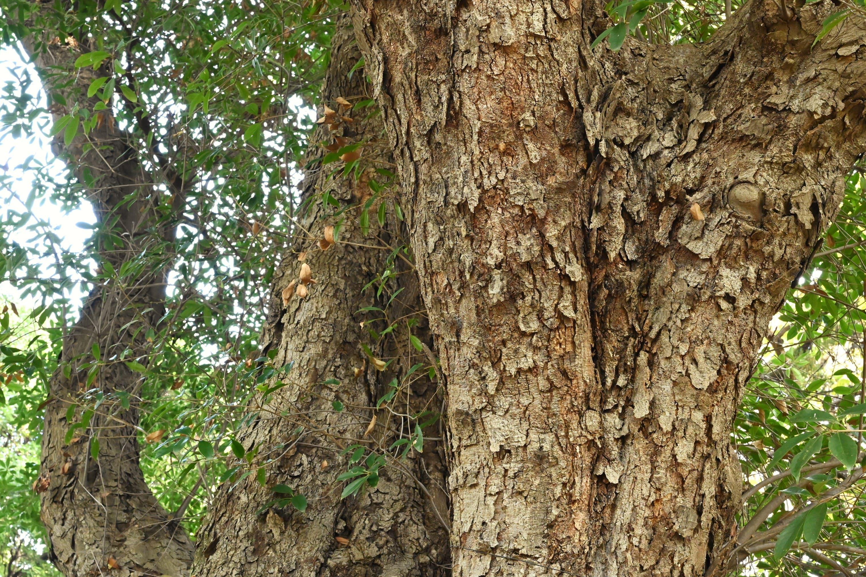 ツクバネガシ 樫の種類
