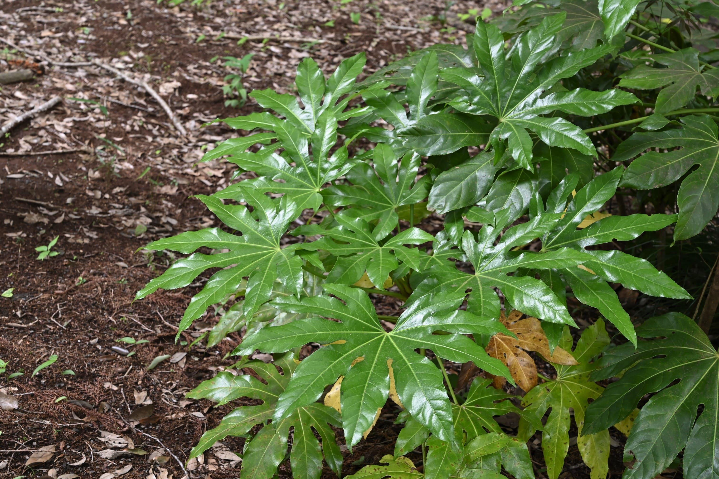 Japanese Aralia,leaf