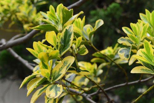 マサキ 庭木 種類