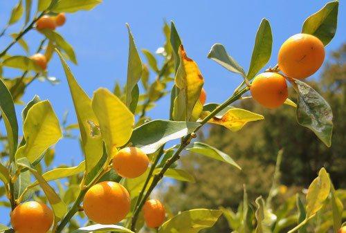 丸金柑,きんかん,画像