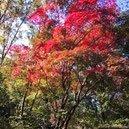 紅葉庭木 代表種