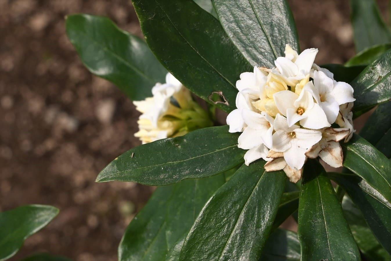 真っ白の沈丁花,じんちょうげ,白花,画像