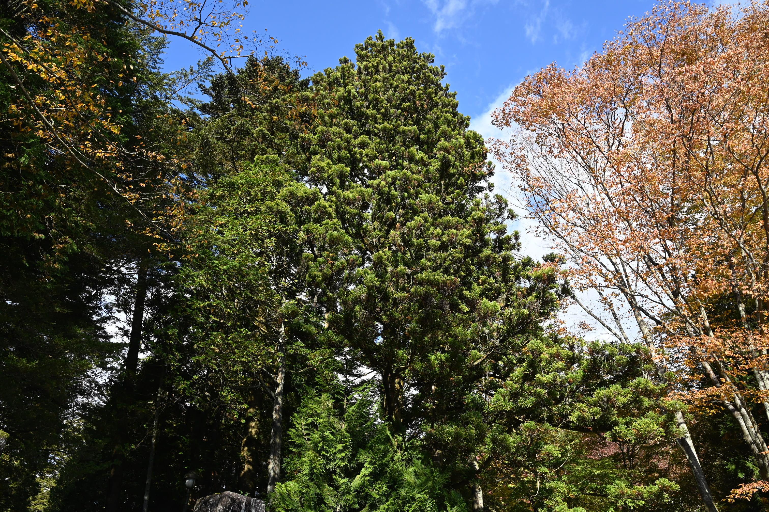 杉の木 画像