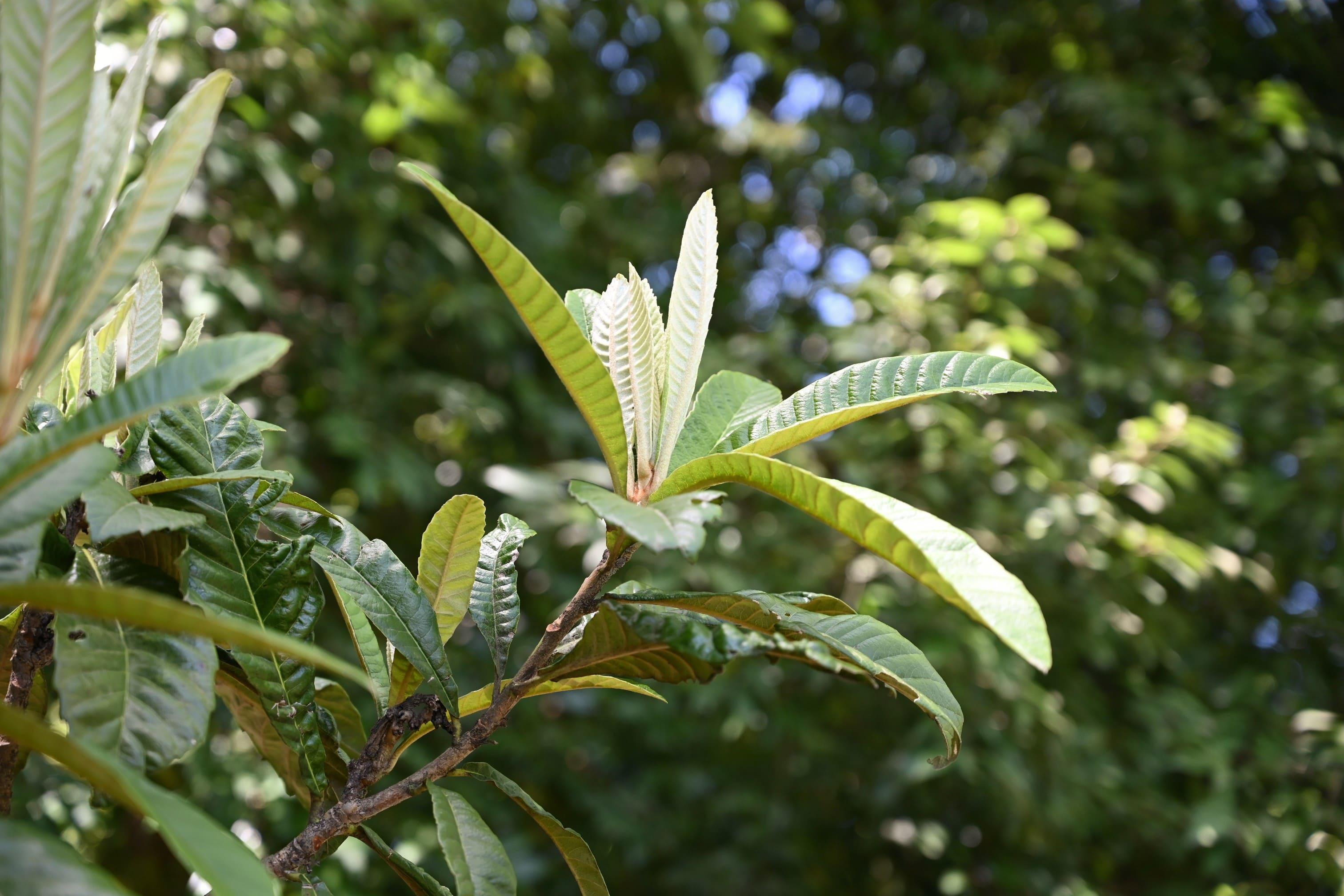 枇杷,びわの木,新芽
