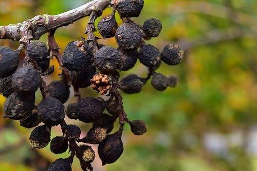 キブシ 種子