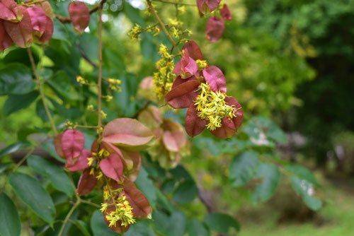 Golden-rain tree,Japan,flower