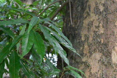 バリバリノキ,葉っぱ